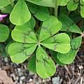 Oxalis nelsonii, UC Botanical Garden