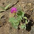 Oxalis obliquifolia, Maclear, Bob Rutemoeller