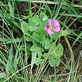 Oxalis obliquifolia, Maclear, Mary Sue Ittner