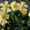 Oxalis obtusa MV5051, Mary Sue Ittner