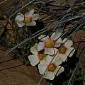 Oxalis obtusa, Middelpos, Mary Sue Ittner