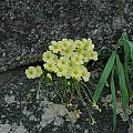 Oxalis obtusa, Bob Rutemoeller [Shift+click to enlarge, Click to go to wiki entry]