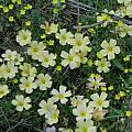 Oxalis obtusa, Namaqualand, Mary Sue Ittner