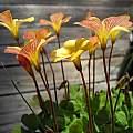 Oxalis obtusa 'Sunset', Mary Sue Ittner