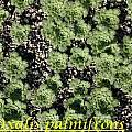 Oxalis palmifrons, Bill Dijk