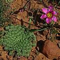 Oxalis palmifrons, Romulea subfistulosa, Mary Sue Ittner