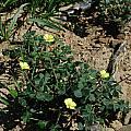 Oxalis pes-caprae, Brackenfell, Mary Sue Ittner