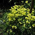 Oxalis pes-caprae, Nhu Nguyen