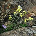 Oxalis pes-caprae, Nieuwoudtville, Mary Sue Ittner