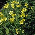 Oxalis pes-caprae, Mary Sue Ittner [Shift+click to enlarge, Click to go to wiki entry]