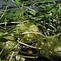Oxalis pocockiae, bulbils, Nhu Nguyen