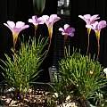 Oxalis polyphylla, Nhu Nguyen
