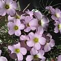 Oxalis polyphylla var. heptaphylla MV6396, Nhu Nguyen