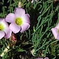 Oxalis polyphylla var. heptaphylla MV6396, Mary Sue Ittner
