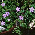 Oxalis primuloides, Christiaan van Schalkwyk [Shift+click to enlarge, Click to go to wiki entry]