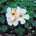 Oxalis pulchella var. tomentosa, Mary Sue Ittner