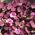 Oxalis purpurea 'Garnet', Bob Rutemoeller