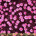 Oxalis purpurea 'Nigrescens', Bill Dijk