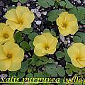 Oxalis purpurea, yellow, Bill Dijk