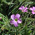 Oxalis smithiana, Gaika's Kop, Bob Rutemoeller [Shift+click to enlarge, Click to go to wiki entry]
