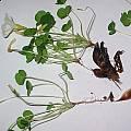Oxalis sonderiana var. alba, Christiaan van Schalkwyk
