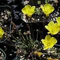 Oxalis sp. Chile, Nhu Nguyen