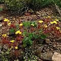 Fuzzy Oxalis plant, Eugene Zielinski