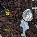 Tiny Oxalis, Eugene Zielinski