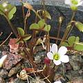 Oxalis sp., David Victor [Shift+click to enlarge, Click to go to wiki entry]