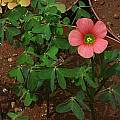 Oxalis stenorrhyncha, Christiaan van Schalkwyk [Shift+click to enlarge, Click to go to wiki entry]