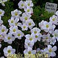 Oxalis tenuifolia, Bill Dijk