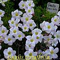 Oxalis tenuifolia, Bill Dijk [Shift+click to enlarge, Click to go to wiki entry]
