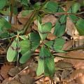 Oxalis tetraphylla, UCBG, Nhu Nguyen