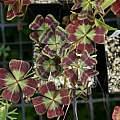 Oxalis tetraphylla, Guerrero, Mexico, Nhu Nguyen
