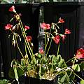 Oxalis tetraphylla 'Reverse Iron Cross', Nhu Nguyen