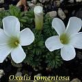 Oxalis tomentosa, Bill Dijk