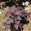 Oxalis triangularis, Bob Rutemoeller [Shift+click to enlarge, Click to go to wiki entry]