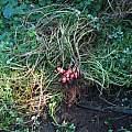 Oxalis tuberosa, red form, Nhu Nguyen