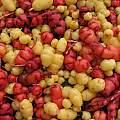 Oxalis tuberosa, yellow form, Nhu Nguyen