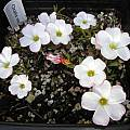 Oxalis versicolor, Mary Sue Ittner