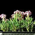 Oxalis versicolor, Nhu Nguyen