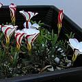Oxalis versicolor, Mary Sue Ittner