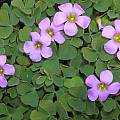 Oxalis zeekoevleyensis, Bob Rutemoeller [Shift+click to enlarge, Click to go to wiki entry]