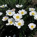 Paeonia lactiflora 'Krinkled White', taken May 2005 at Plant Delights Nursery by Nestor White