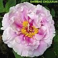 Paeonia 'Shimane Chojuraku', Jamie Vande