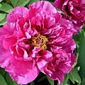 Paeonia 'Shima Daijin' flower, Martin Bohnet