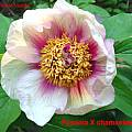 Paeonia × chamaeleon, Jamie Vande