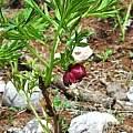 Paeonia delavayi in habitat, Oron Peri