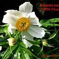 Paeonia emodi, Jamie Vande