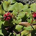 Paeonia mascula, Mary Sue Ittner
